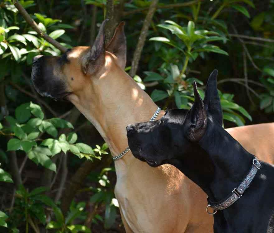 Fawn Great Dane - Black Great Dane