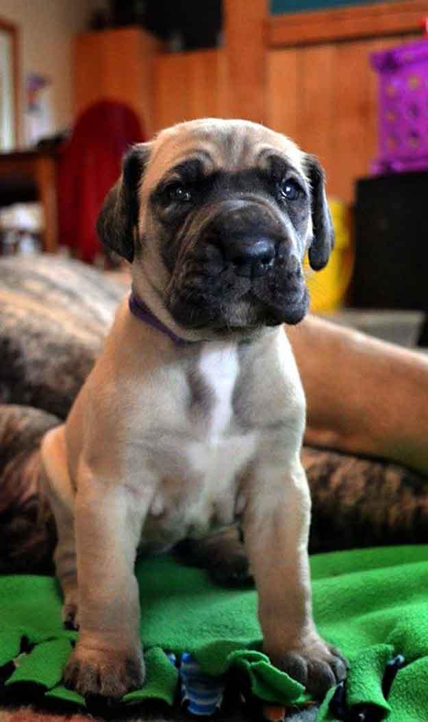 Fawn Great Dane puppy
