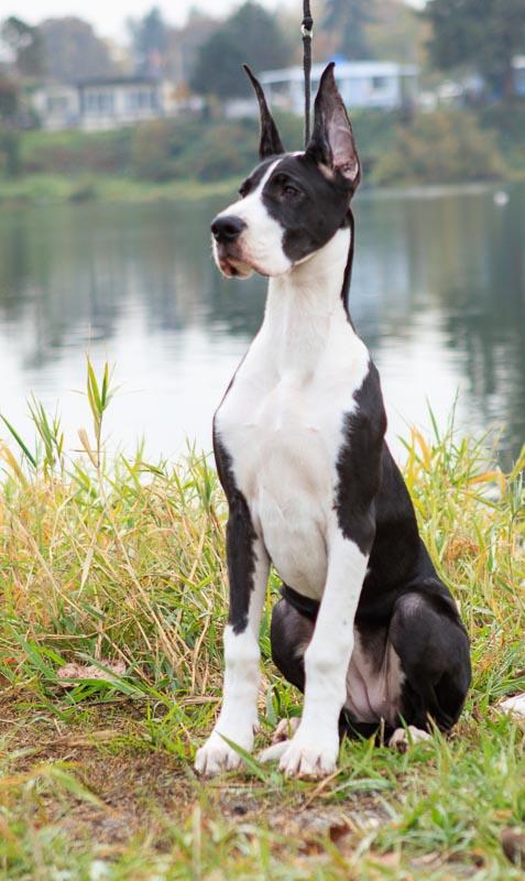 Mantle Great Dane puppy